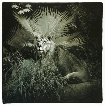 Debra DiPaolo Photography, lion